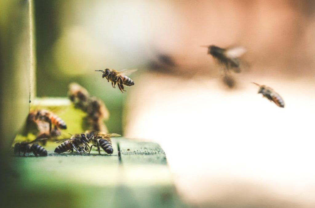 Ecolo-Groen trouve une majorité pour faire interdire les 'tueurs d'abeilles'